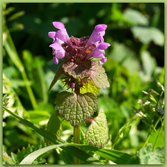 Lamier pourpre (Phil du Valois) Tags: rouge lamium pourpre purpureum ortie lamier adventice