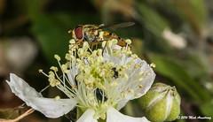 Hoverfly_Episyrphus balteatus11.jpg (T9FURY) Tags: july hoverfly rutlandwater 2016 episyrphusbalteatus