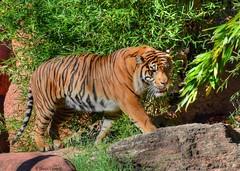 Sumatran Tiger - Vantage Point (zendt66) Tags: sumatra zoo photo nikon tiger assignment theme sumatrantiger okc weekly hdr sumatran photomatix zendt d7200 zendt66 52weeks2016