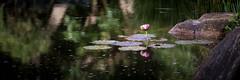 28/52 Tranquility (Nat Murray) Tags: green pink canon70d lotus sigma 150mm macro serene garden water japanese brisbane