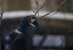 Take Off (pjcard) Tags: bluejays winter flying virginia