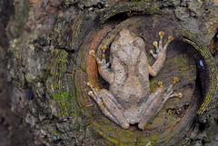面天樹蛙 Chirixalus idiootocus  ( Kuramato & Wang, 1987) [特有] (Taiwan-Awei) Tags: 生態 自然 樹蛙 面天樹蛙 動物 兩棲類動物 taiwanawei awei 林敬偉 小動物