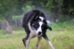 Shake, rattle... (Brandi Bonde) Tags: dog water canine shake bordercollie rescuedog shelterpets adoptdontshop