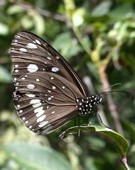 Euploea core (richardwing45) Tags: website butterfly common crow insect entomology oleander