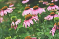 torn (thatgirlwiththekicks) Tags: flowers pink green bokeh nature garden summer echinacea waterworks park stthomas ontario canada