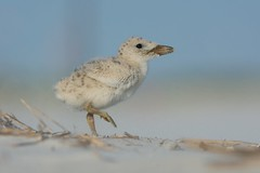 """Beach Baby"" (Black Skimmer Chick) (Jesse_in_CT) Tags: blackskimmer"