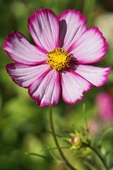 Cosmos (charlottes flowers) Tags: cosmos lutherburbankgardens santarosa