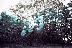 film (La fille renne) Tags: film analog 35mm lafillerenne canonae1program 50mmf18 lomography lomochrome lomochrometurquoise lomochrometurquoisexr100400 flowers roses turquoise bokeh nature