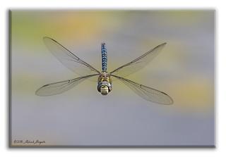 Full frontal - Dragonfly in flight [Explored]