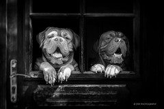 (stef.gerard.7) Tags: dog doguedebordeaux animal