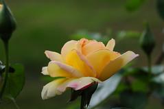 DSC_5712 Yellow Rose (PeaTJay) Tags: nikond300s sigma reading lowerearley berkshire macro micro closeups gardens outdoors nature flora fauna plants flowers rose roses rosebuds