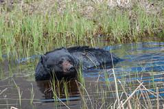 Rub-A-Dub-Dub (ChicagoBob46) Tags: blackbear bear boar yellowstone yellowstonenationalpark nature wildlife