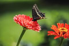 Clark Botanic Garden (Alyson Goodman) Tags: longisland clarkbotanicgarden flower flowers floral plant plants newyork nature zinnia butterfly