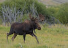 Moose On The Run (Happy Photographer) Tags: colorado moose wildlife bull run amyhudechek
