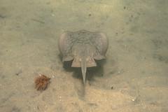 _DSC1058 (andrewlorenzlong) Tags: california laguna beach lagunabeach pacific ocean pacificocean snorkel snorkeling stingray sting ray rays stingrays leopard leopardray leopardrays thornback thornbackray