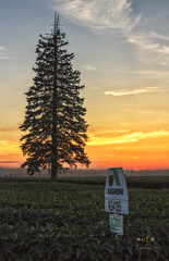 The Pine in the Soybean Field (SteveFrazierPhotography.com) Tags: asgrow soybean field sunset pine tree sign beautiful clouds landscape scene scenery stevefrazierphotography mcdonoughcounty illinois il farm farming farmland country countryside outside outdoor summer august orange blue