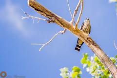 Peregrine Falcon (Haro Studios) Tags: peregrinefalcon bird canon 5dmkiii 200mm oklahomacity oklahoma blue brown