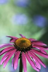 Summer Color (Photo Amy) Tags: beautiful canon50d ef100mm28 flower green lovely macro petal pink pretty soft stem echinacea coneflower orange pollen summer pennsylvania chanticleergardens