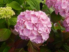 Pink Hydrangea, Nairn, July 2016 (allanmaciver) Tags: hydranges pink bloom sturdy hardy show display nairn east coast scotland beautiful admire