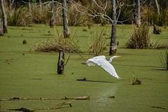 Seeking Privacy (brev99) Tags: egret oxleynaturecenter pond duckweed green water trees stumps d7100 tamron70300vc hdrefexpro dxooptics8 cacorrection white bird whitebird bif birdinflight highqualityanimals ngc tulsa oklahoma