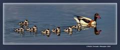 Famlia d'necs blancs al rac de l'Olla (Tadorna tadorna) Common shelduck's family (L'Horta, Valncia, Spain) (Rafel Ferrandis) Tags: ef100400mmf4556lii eos7dmkii hdr racolla albufera au reflex famlia necblanc
