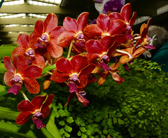 """photographed at """"orchids in the park"""", Cattleya Hawaiian Variable hybrid orchid 7-16 (nolehace) Tags: summer nolehace sanfrancisco fz1000 716 flower plant bloom cattleya hawaiian variable hybrid orchid"""
