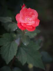 Beauty (MeLy .) Tags: flower red nature pink rose beauty blumen die ruza cvijet priroda rosa