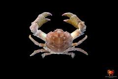 Dromidiopsis indica (radostaondrej) Tags: underwater dromidiopsis indica dromiidae sponge crab decorator