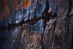 Ants on charred bark_c (gnarlydog) Tags: closeup kodakanastigmat63mmf27 charred bark nature australia detail