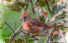 Northern Cardinal (Summerside90) Tags: birds birdwatcher northerncardinal september backyard garden nature wildlife ontario canada
