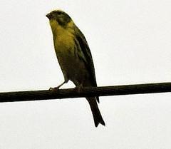 Serin, Serinus serinus (asterisktom) Tags: serin serinusserinus karlsruhe 2016 trip2016kazakheuro july germany bird vogel ave 鸟 niao птица 鳥