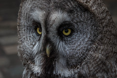Great Grey Owl (lesage1981) Tags: owl raptor greatgrey grey wise bird feathers eyes