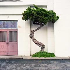 Mausoleum tree (ADMurr) Tags: la compton cemetery tree green rose rolleiflex planar kodak 6x6 mf square