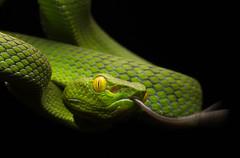 Trimeresurus fucatus [Siamese Peninsula Viper] (kkchome) Tags: herp herping herpetology reptile snake viper trimeresurus fucatus siamese peninsula pit asia malaysia bukit fraser wildlife nature fauna