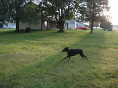 1474628140_2016_Sep_23_06-55-40_yardx782 (yclept8) Tags: doberman julie