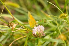 7K8A9906 (rpealit) Tags: scenery wildlife nature mahlon dickerson reservation snow bowl jefferson twp orange sulphur butterfly