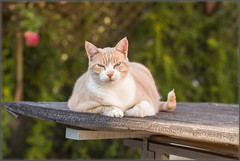 Stanley (No_Water) Tags: ebersbachanderfils badenwrttemberg deutschland de stanley cat katze red ginger white