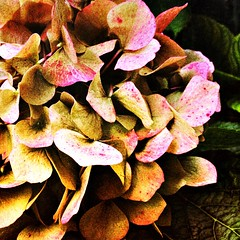 Hydrangea revisited (Caroline Oades) Tags: beauty plant bracts flower autumnal autumn hydrangea enlight stackables mextures iphone5s mobilephotography mobiography iphoneography processingpower