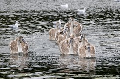 On the alert (amandahaxby) Tags: cygnet mute swan bird water lagoon rodley canon nature