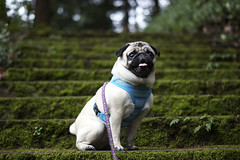 Mossy Stairs (Scoutie Pug) Tags: dog dogs forest portland pug pugs scoutie
