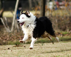 Happy Gracie (Maggggie) Tags: 113picturesfor2013 dog jump 62 australiansheepdog herder leap explored