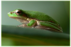green eastern sedgefrog (Leonard John Matthews) Tags: macro green nature australia frog creation environment creature easternsedgefrog mythoto