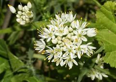 Ajillo (Allium subvillosum) (alcedofoto.) Tags: