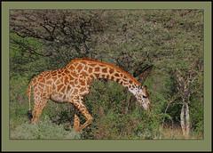 The Thorntree Horse (Rainbirder) Tags: kenya giraffacamelopardalistippelskirchi tsavoeast giraffacamelopardalis masaigiraffe rainbirder