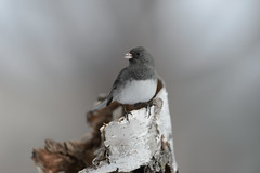 Dark-eyed Junco_41953.jpg (Mully410 * Images) Tags: bird birds backyard junco birding birdwatching birder darkeyedjunco birchtree burdr