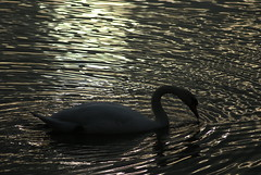 Muted reflectons (Bruce Stokes) Tags: sunset animal coventry muteswan brandonmarsh