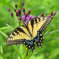 Tiger in purple ironweed (Vicki's Nature) Tags: yellow canon butterfly georgia purple stripes ngc meadow npc s5 tigerswallowtail greenbackground bigmomma ironweed 6723 gamewinner supershot touchofblue vickisnature gamex2winner storybookwinner bwcgtuv gamex3winner gamegamex2 gamedof storybookttwchallenge storybookmostrecentpage motherstorybookchallwinners friendlylatestuploadwaward gamegamex2x2 readygameon gamegamex3 readysupershotscontests