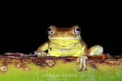 Rana In The Rainforest (Megan Lorenz) Tags: travel macro closeup night costarica amphibian frog treefrog arenal centralamerica alajuela 2013 mlorenz meganlorenz arenaloasis loquaciousswampfrog