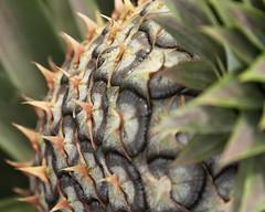 BlueSkiesGhanaFeb13-0236 (ImageAuto) Tags: coconut farming papaya ghana pineapple mango jee tropical blueskies sustainable addedvalue sustainabledevelopment jointeffortenterprise anthonypile guymurfitt tropicalagricalture