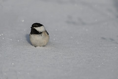 Snowy Chickadee_42388_.jpg (Mully410 * Images) Tags: winter snow cold bird birds birding chickadee birdwatching blackcappedchickadee birder tcaap ahats burdr ardenhillsarmytrainingsite
